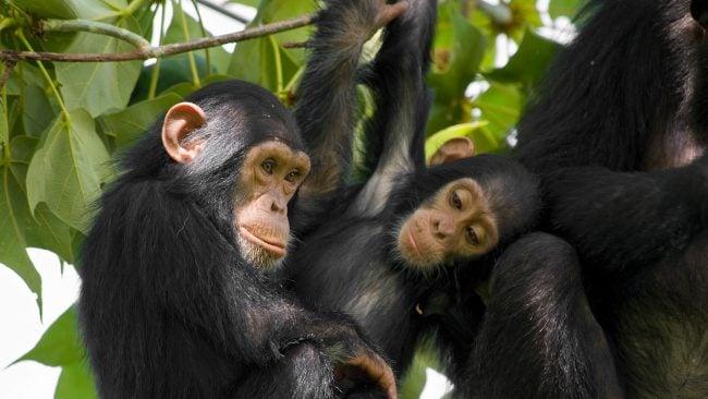 animals hero chimpanzee 15 Astonishing Scientific Facts That You Won't Believe Are True