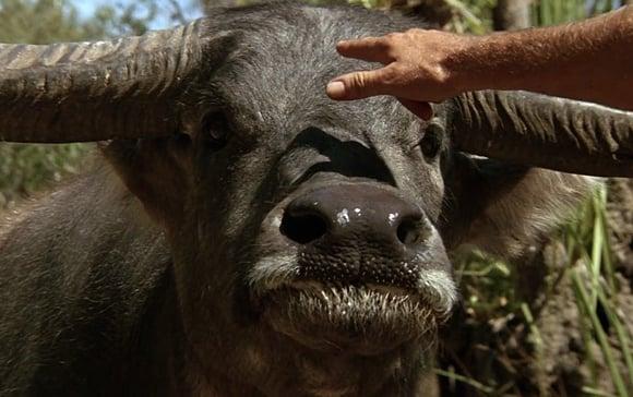 The water buffalo from Crocodile Dundee
