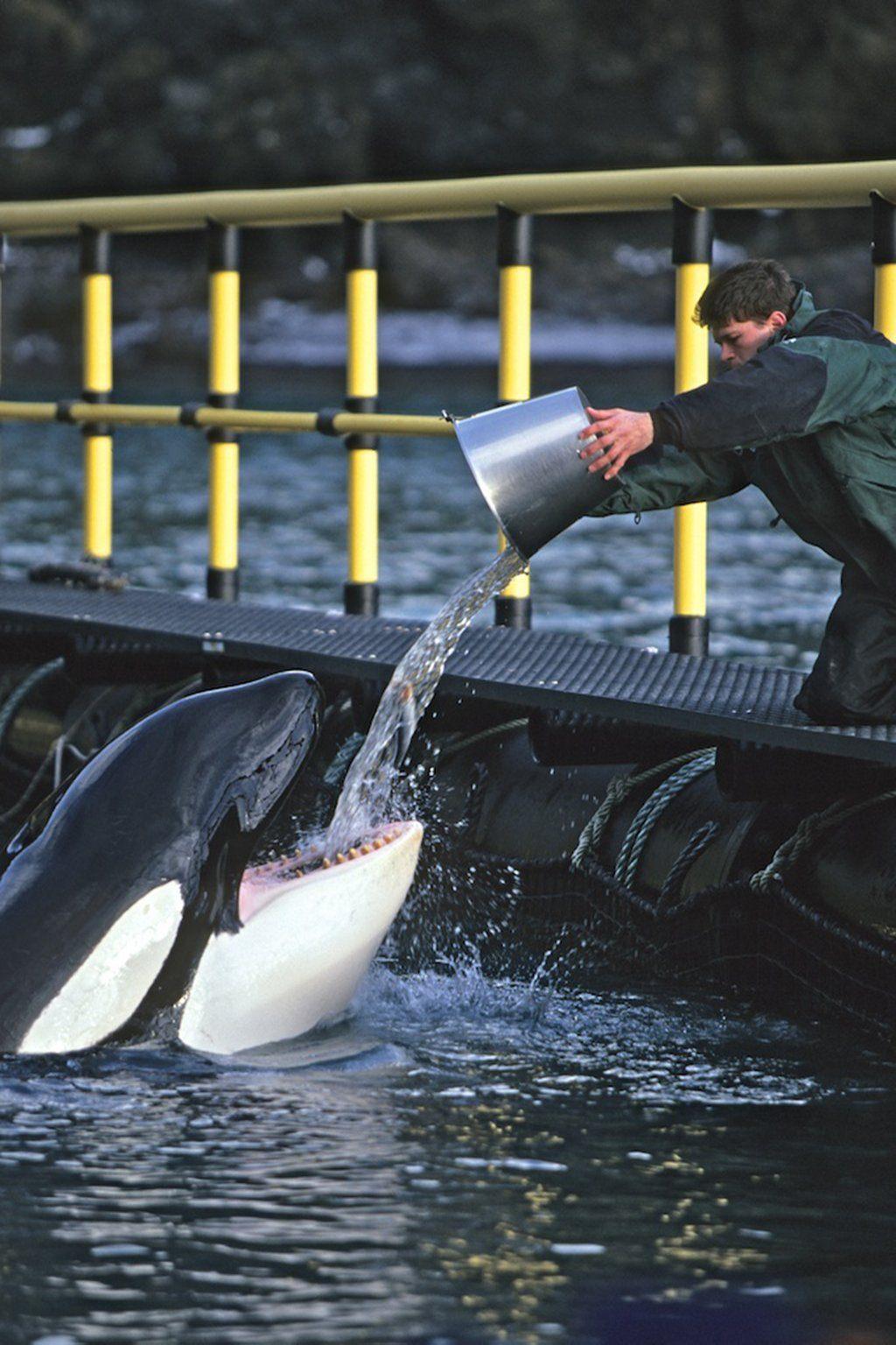 Keiko the killer whale at feeding time