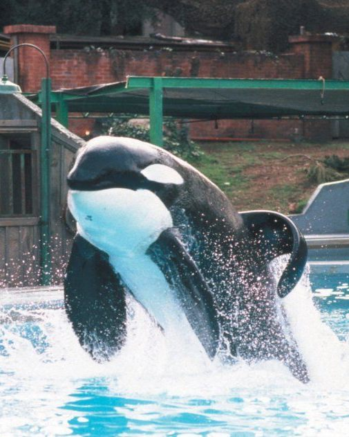 Keiko the killer whale in his original exhibit