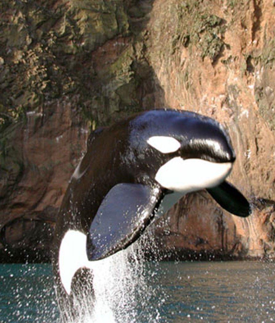 Keiko the killer whale in the wild