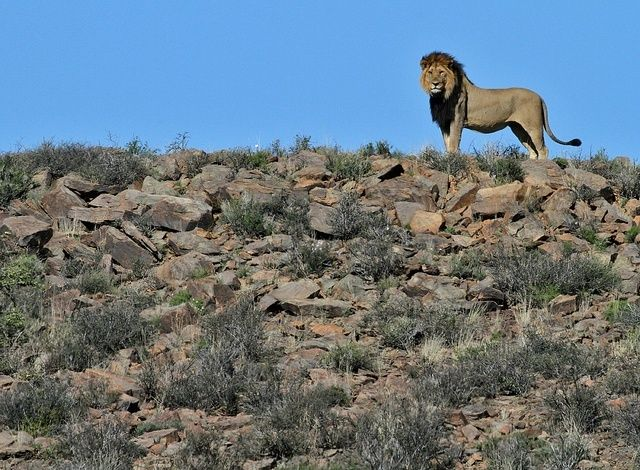 3895a861413787d4d4f44c7a23da7b4f A Lion In South Africa Has Been Arrested And Sent To Jail After Escaping From The Zoo