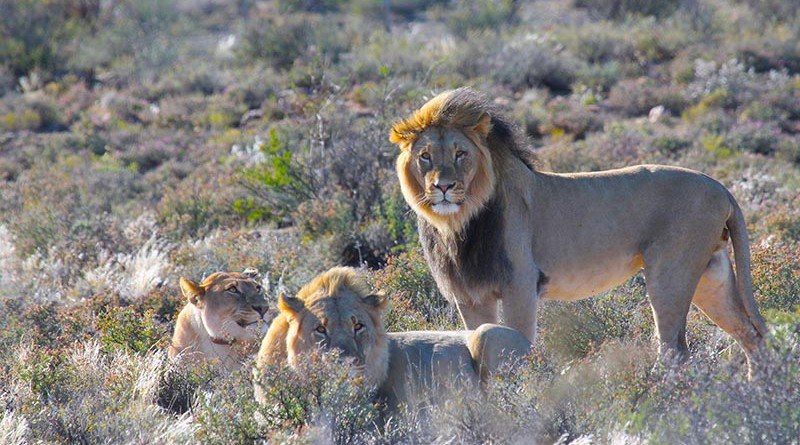 Sylvesterkie Harry Lewis A Lion In South Africa Has Been Arrested And Sent To Jail After Escaping From The Zoo