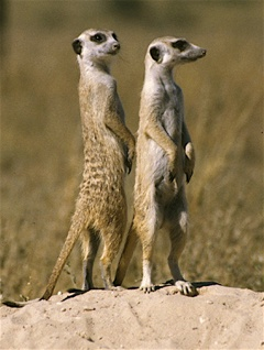 home meerkat 21 Things You Didn't Know About The Lion King