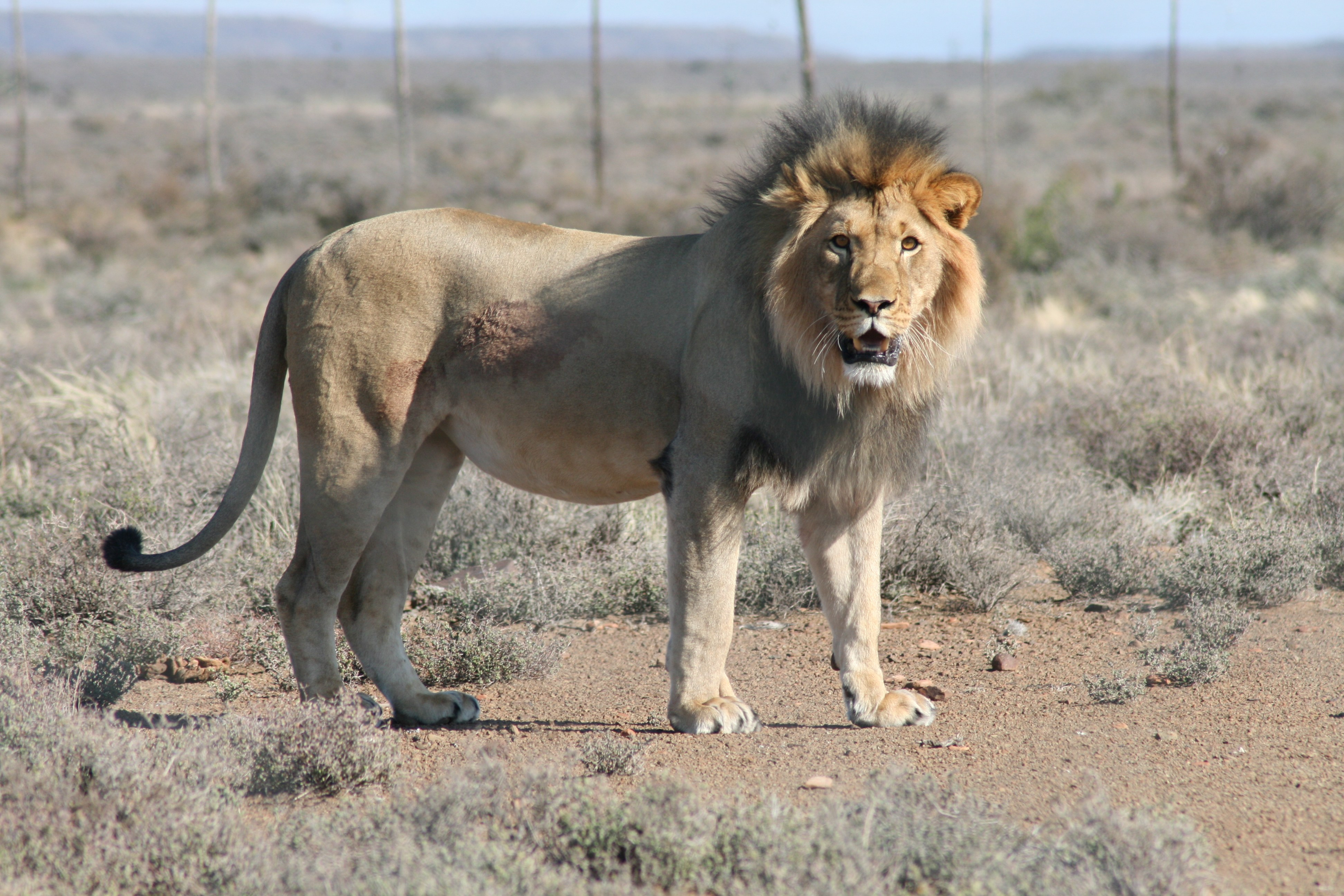 sylvester the lion A Lion In South Africa Has Been Arrested And Sent To Jail After Escaping From The Zoo
