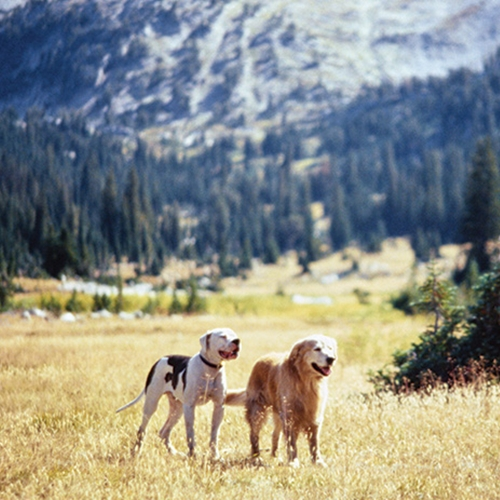 5 13 10 Heartwarming Facts About 1993's Homeward Bound: The Incredible Journey