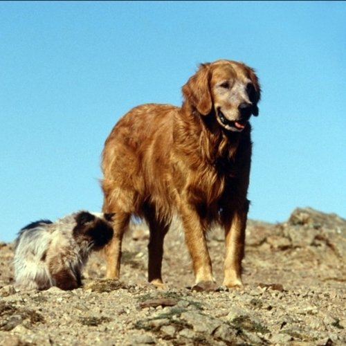 7 14 10 Heartwarming Facts About 1993's Homeward Bound: The Incredible Journey