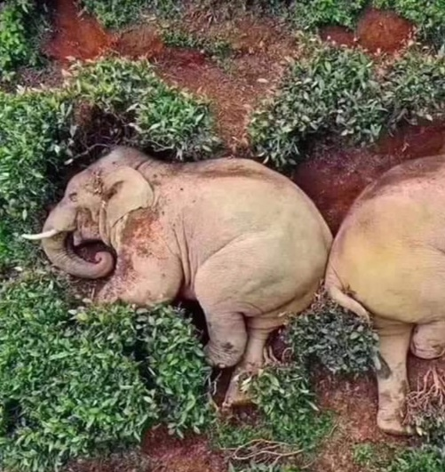 drunk elephants 2 Elephants In China Take Advantage Of Lockdown, Invade Village And Get Drunk On Wine
