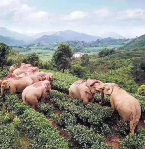 drunk elephants Elephants In China Take Advantage Of Lockdown, Invade Village And Get Drunk On Wine