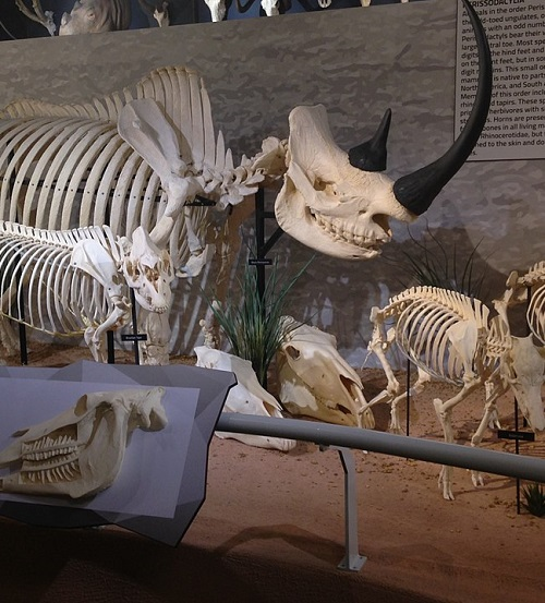 960px Skeletons Animals Unveiled Rhino Skeleton Carole Baskin Awarded Control Of 'Tiger King' Joe Exotic's Zoo In Court Ruling