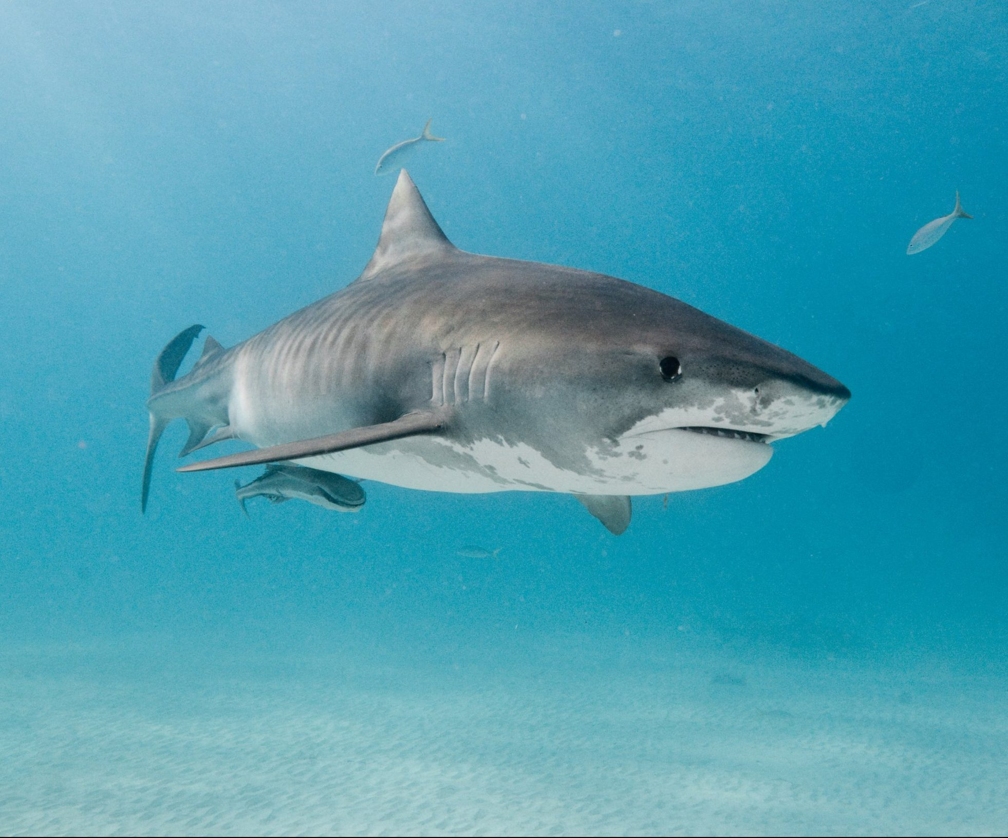 tiger shark stock getty e1615811187642 27 Things You Didn't Know About Jaws